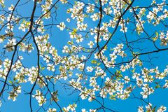Dogwood tree blossom at springtime in park. Spring natural backg Royalty Free Stock Images
