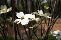 Dogwood Tree Blossoms. Delicate white flowers bloom on a dogwood tree in spring Stock Image