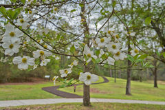 Dogwood tree blossoms in park, Moores Creek North Carolina State park Royalty Free Stock Photography