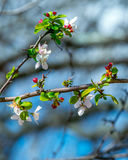Dogwood Tree Blossoms. A photograph I took of the first blossoms of a Dogwood Tree Stock Photo