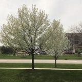 Dogwood tree blossoms. Spring blossoms on dogwood tree Royalty Free Stock Photos