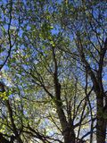 Dogwood tree. Blue sky and sunshine through the leaves and branches of a dogwood tree Royalty Free Stock Photo