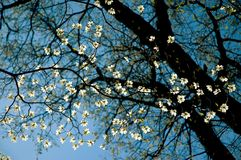 Dogwood Tree Close-Up. A close-up view of a flowering dogwood tree Royalty Free Stock Photography