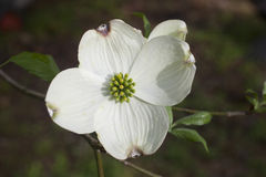 Dogwood Stock Photos