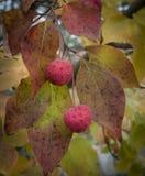 Dogwood Tree Fruit in Autumn. Bright red fruit of the Kousa or Korean Dogwood tree in Autumn Stock Photos