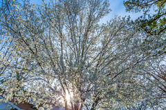 Dogwood Tree in Full Bloom on a Bright Sunny Day Royalty Free Stock Photography