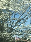 Dogwood Tree. Full bloom dogwood trees on a blue sky background. American Flag partial obscured Royalty Free Stock Images