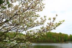 Dogwood Tree by Lake. White dogwood flowering tree by lake Royalty Free Stock Image