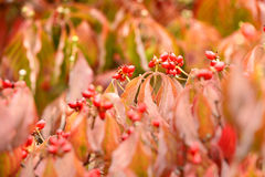 Dogwood Tree Leaves in Early Fall Stock Images