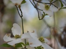 Dogwood Tree with several Blooms. A picture of a dogwood tree with several blooms on it Stock Photography