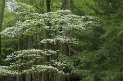 Dogwood Tree, Smokey Mountains. Dogwood, Spring, Cades Cove, Great Smoky Mountains National Park, TN royalty free stock images