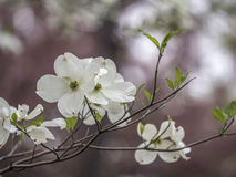 Dogwood tree in spring Royalty Free Stock Photography