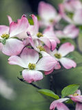 Dogwood tree in spring Stock Image