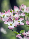 Dogwood tree in spring Royalty Free Stock Image