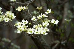 Dogwood Tree Telephoto. Dogwood tree flowers in Virginia Stock Images