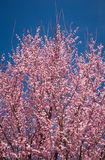 Dogwood Tree Top. The top view of a Dogwood tree against the blue sky Royalty Free Stock Images