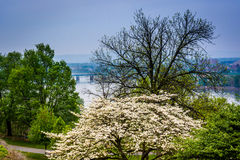 A dogwood tree and view of the Susquehanna River Royalty Free Stock Images