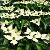 Dogwood Tree. With white blooming flowers and bright green leaves Stock Photos