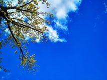 A Dogwood Tree With Yellow Flowers Against a Blue Sky on a Spring Day stock photos