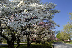 Dogwood Trees. Beautiful dogwood flowers blooming next to a road Stock Image