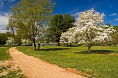 Dogwood Trees in Bloom. At a lakeshore park in spring royalty free stock photo