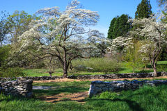 Dogwood Trees Bloom Virginia Country Lane Stock Photo
