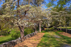 Dogwood Trees and Dry Stone Walls Stock Photography