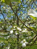 Dogwood in bloom royalty free stock photos