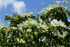 Dogwood Royalty Free Stock Photo