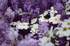 Dogwood and Wisteria in Bloom royalty free stock images