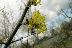 A dogwood and yellow flowers Royalty Free Stock Photo