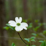Dogwoods Royalty Free Stock Photos