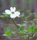 Dogwoods Royalty Free Stock Images