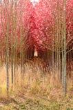 dogwoods Fotografía de archivo libre de regalías