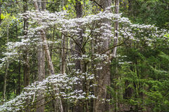 Dogwoods blooming in the Great Smoky Mounains. Royalty Free Stock Photos