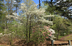 Dogwoods at Callaway Gardens Royalty Free Stock Photo