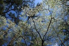 Dogwoods at Callaway Gardens stock photos