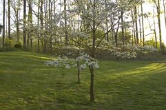 Dogwoods & Grass. Spring Images, Dogwoods & Grass, East Tennessee royalty free stock photo