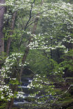 Dogwoods In Smoky Mountain National Park Royalty Free Stock Photography
