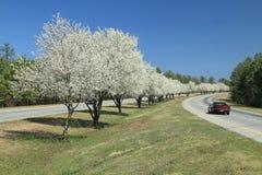dogwoods som blommar fodrarvägen Arkivbild