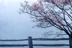 Dogwoods and split rail fence in spring fog, Monticello, Charlottesville, VA Stock Image
