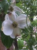 Dogwoods in the spring Stock Photography