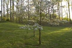 Dogwoods y hierba Foto de archivo libre de regalías
