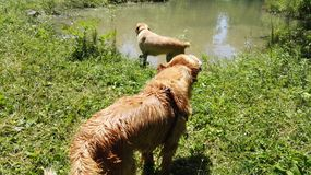 Dogy wets in the lake Stock Photos