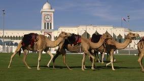 DOHA, ΚΑΤΆΡ - 14 ΦΕΒΡΟΥΑΡΊΟΥ 2018: Καμήλες στην πράσινη χλόη εδώ κοντά το Emiri Diwan - κατοικία εμίρηδων Qatarian σε Souq Waqif φιλμ μικρού μήκους