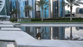 Doha skyline cat. Cat drinking the pool of Doha West Bay reflecting in the water of park in Downtown. Modern skyscrapers of Doha skyline in Qatar, Middle East stock video
