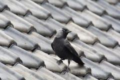 Dohle auf Dach Stockbild