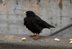 Dohle Blackbird Luzern. Switzerland on top of Mt. Pilatus with some bread crumbs Royalty Free Stock Images