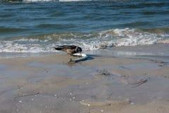 Dohle mit einem Garfish auf dem Strand Stockfotos