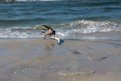 Dohle mit einem Garfish auf dem Strand Lizenzfreies Stockfoto